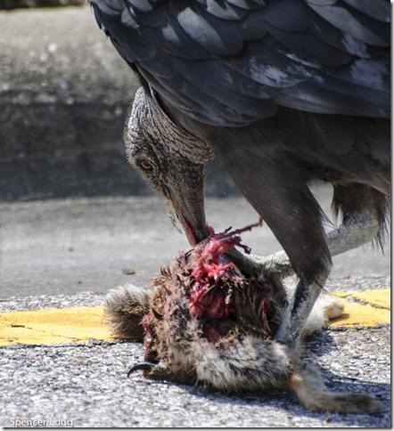 buzzard_bird-25