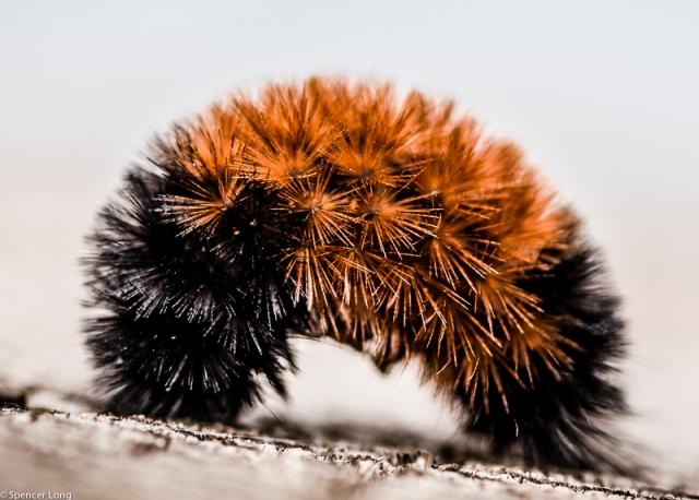 Caterpillar pushups.