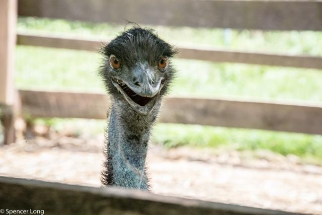 ugly.chicken.emu