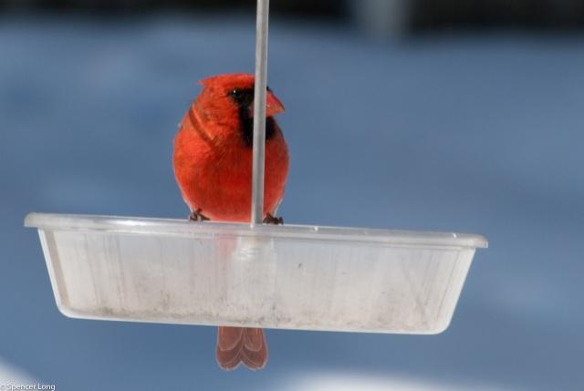 hungry.cardinal