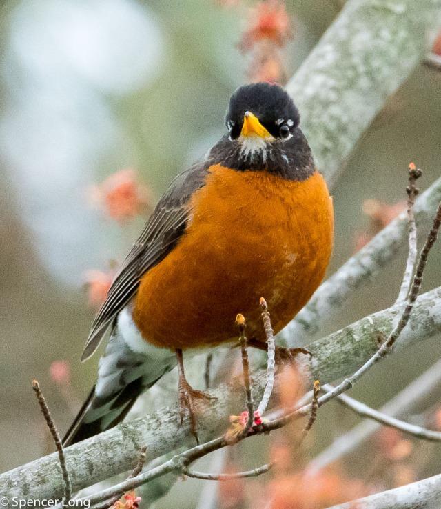 Robin-9