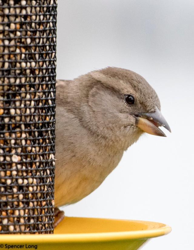Sparrow.bird-5