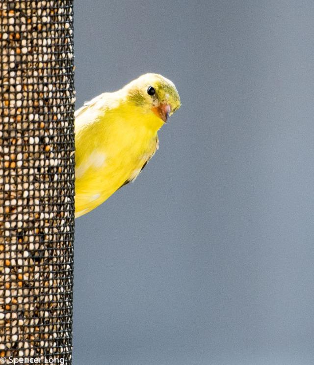 yellowfinch.bird-74