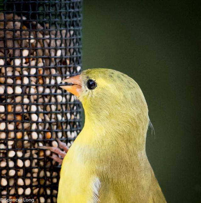 yellow.finch