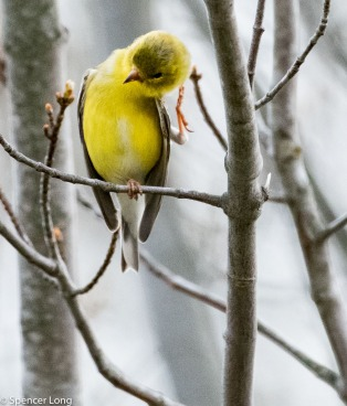 yellowfinch-19