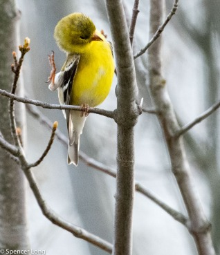 yellowfinch-7