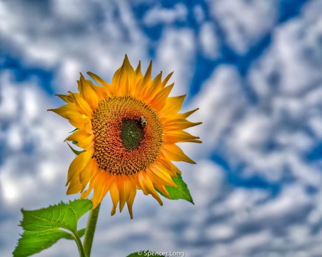 sunflower.bee.2